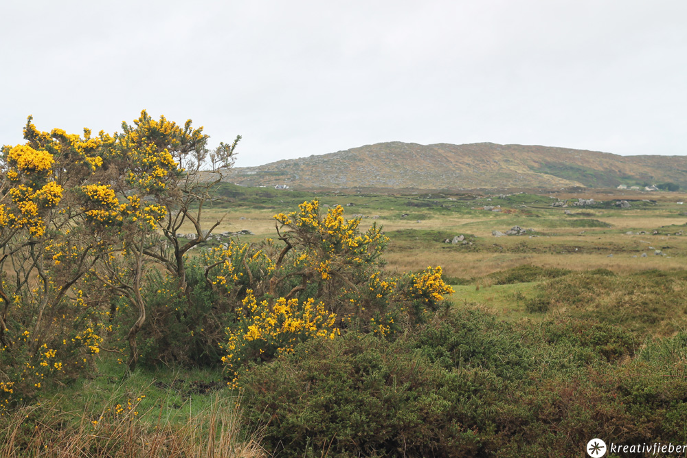 ginsterbüsche in connemara