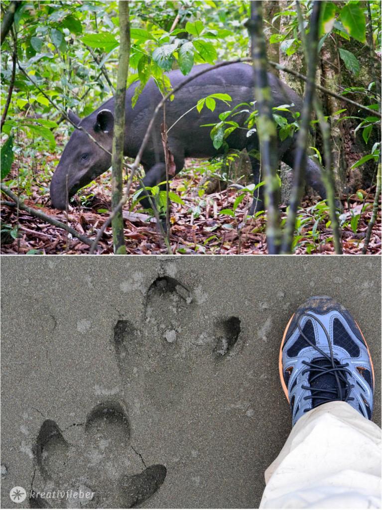corcovado tapir